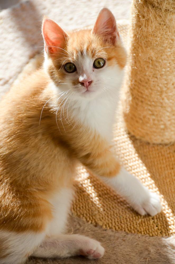 Sully (ancien Nesquik), mâle type européen roux et blanc, né début septembre 2017 - Page 2 Nesqui35