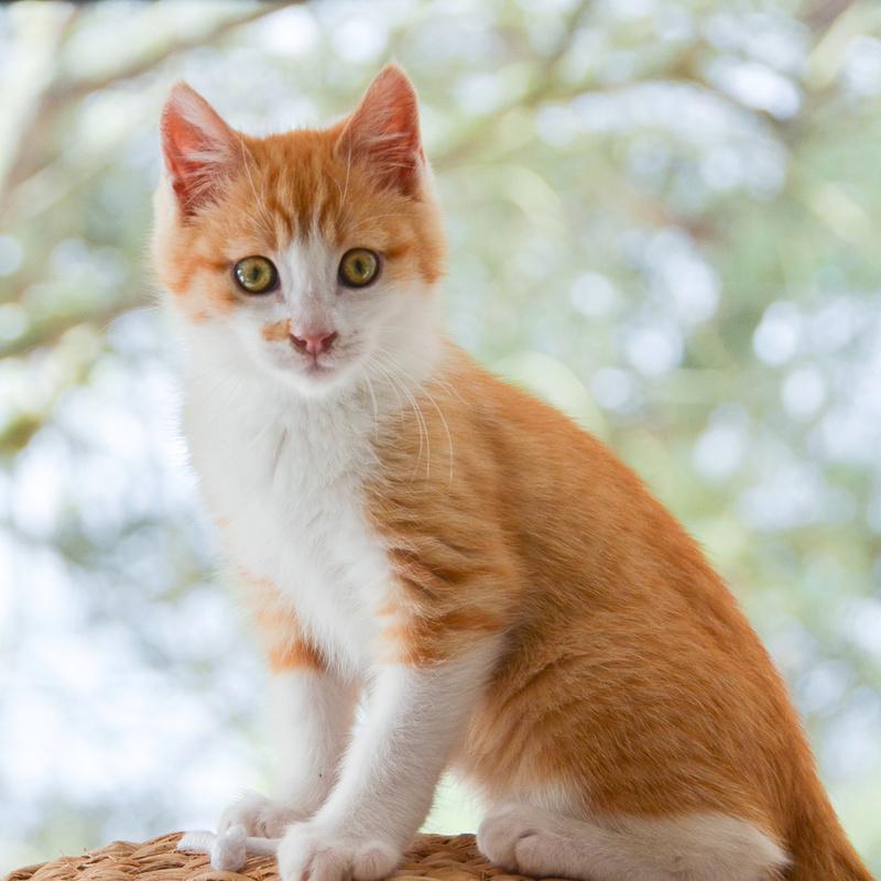 Sully (ancien Nesquik), mâle type européen roux et blanc, né début septembre 2017 - Page 2 Nesqui46