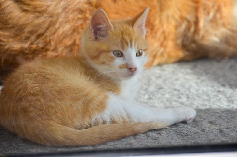 Sully (ancien Nesquik), mâle type européen roux et blanc, né début septembre 2017 - Page 2 Nesqui48