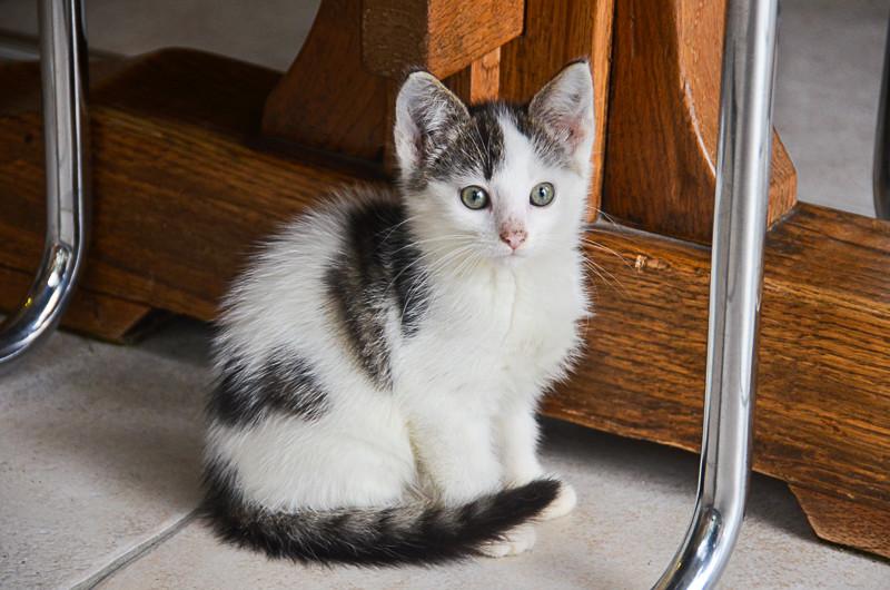 Nestor, mâle européen blanc et tigré, né le 1er septembre 2017 Nestor15