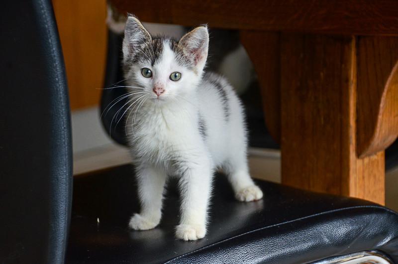 Nestor, mâle européen blanc et tigré, né le 1er septembre 2017 Nestor16