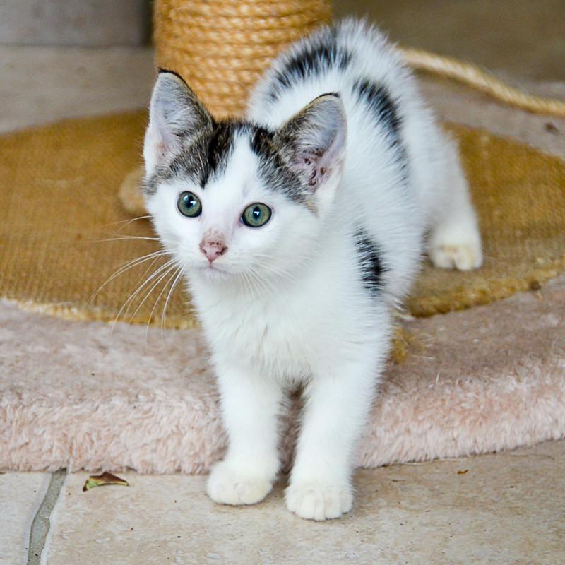 Nestor, mâle européen blanc et tigré, né le 1er septembre 2017 Nestor17