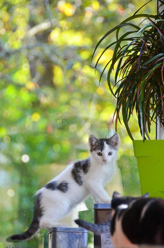 Nestor, mâle européen blanc et tigré, né le 1er septembre 2017 Nestor27