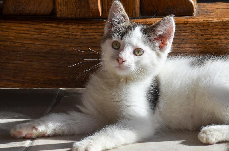 Nestor, mâle européen blanc et tigré, né le 1er septembre 2017 Nestor29