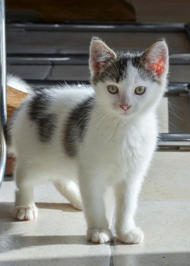 Nestor, mâle européen blanc et tigré, né le 1er septembre 2017 Nestor30
