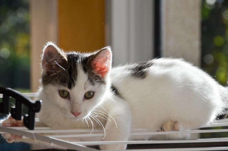 Nestor, mâle européen blanc et tigré, né le 1er septembre 2017 Nestor32