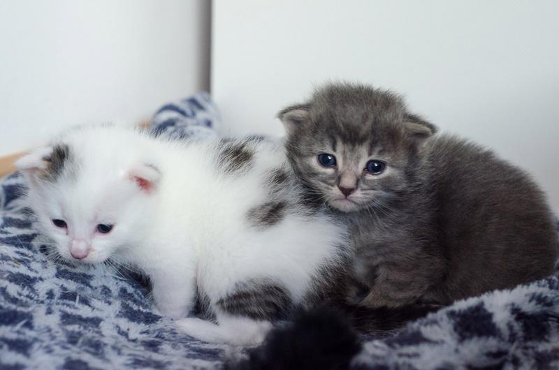Olympe femelle tabby et blanche née le 04 avril 2017 Obi-wa12