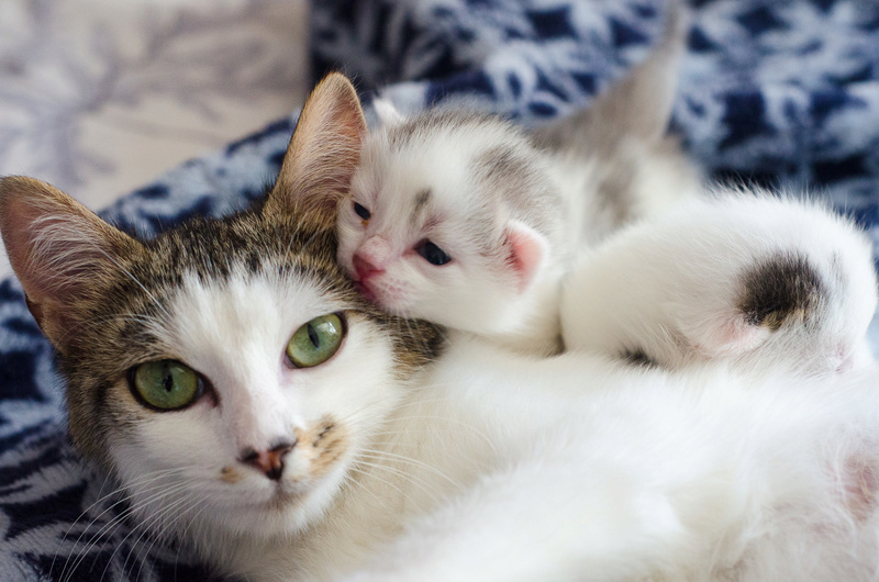 Oasis, femelle type européenne blanche et tigrée, née le 22 avril 2018 Olympe33