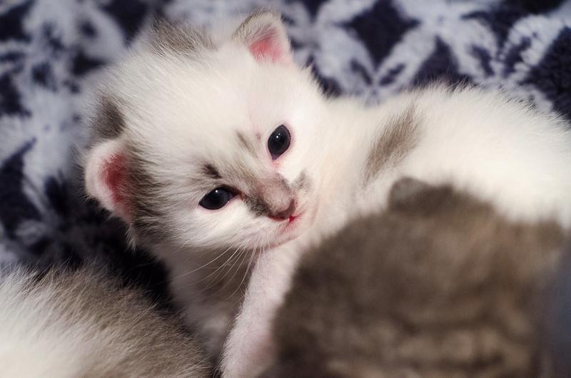 Olympe femelle tabby et blanche née le 04 avril 2017 Onyxe_10