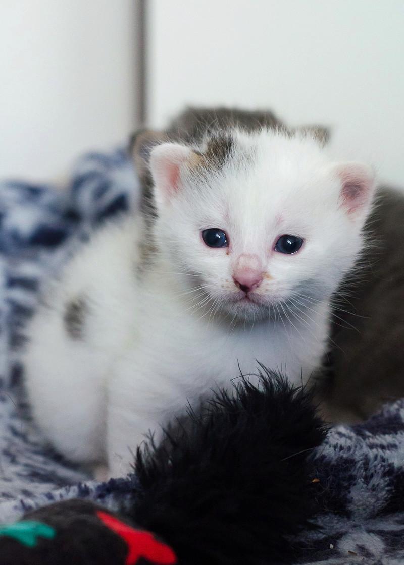 Olympe femelle tabby et blanche née le 04 avril 2017 Opale_11