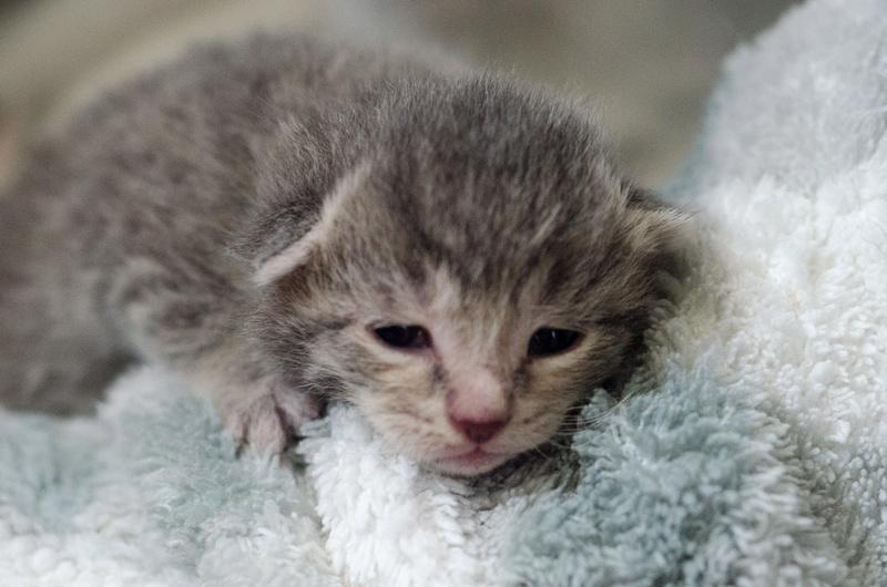 Cracotte femelle type européenne blanche et tigrée née le 4 avril 2017 Portee14