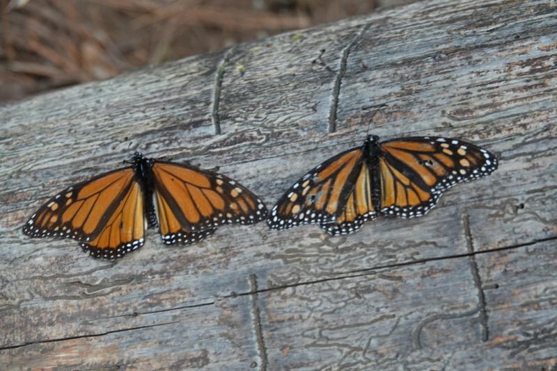 Les papillons Monarc à MARIPOSA MONARCA près de ANGANGUEO Dsc00130