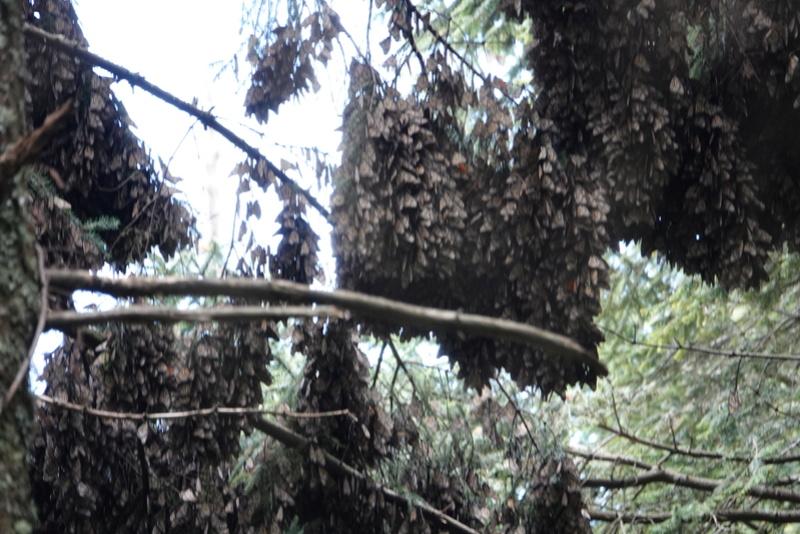 Les papillons Monarc à MARIPOSA MONARCA près de ANGANGUEO Dsc00131