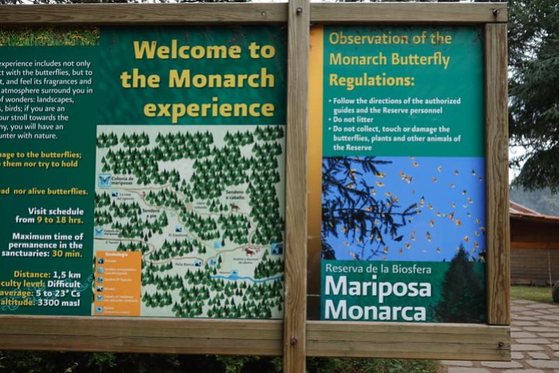 Les papillons Monarc à MARIPOSA MONARCA près de ANGANGUEO Dsc00134