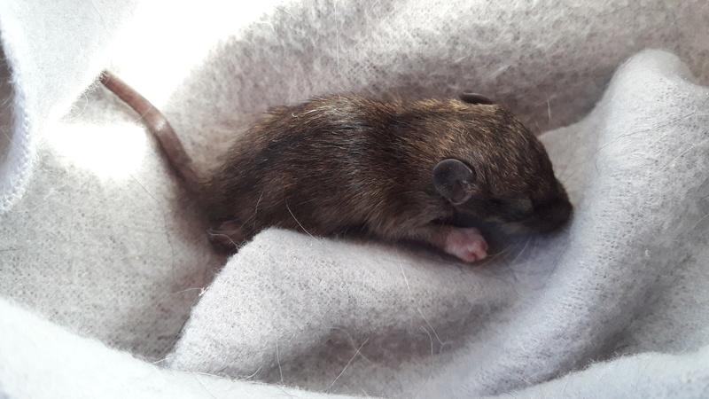 Petit rongeur (rat ?) à sauver 15280113