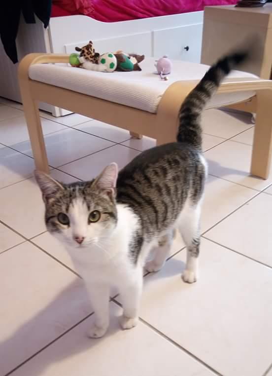 trouvé chat tigré et blanc Colomiers Marots/En Jacca Fb_img11