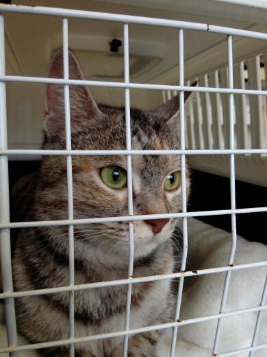 Trouvée chatte tigrée, tricolore, Colomiers Img-2022