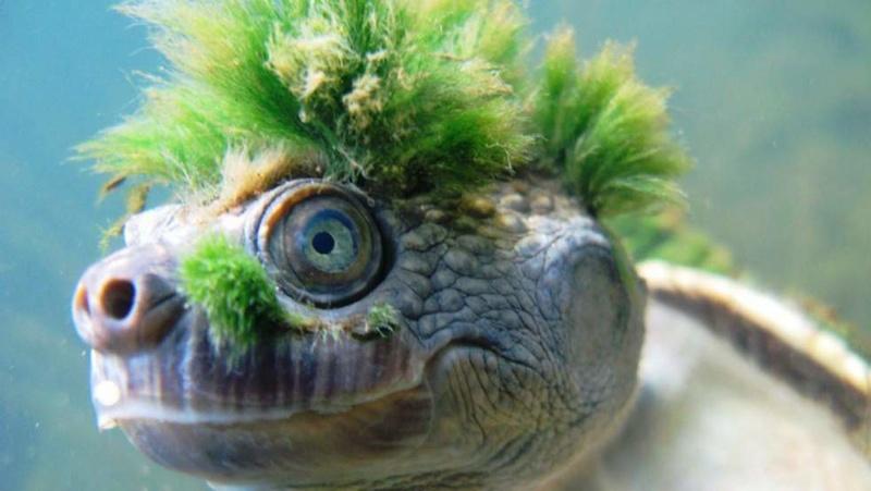 connaissez vous cette tortue ? Tortue10