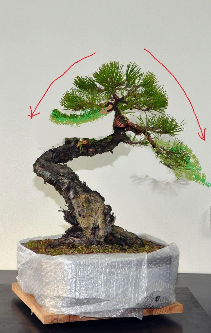 Pino Nero Giapponese - Pinus Thumbergii - Pagina 2 Fronte10