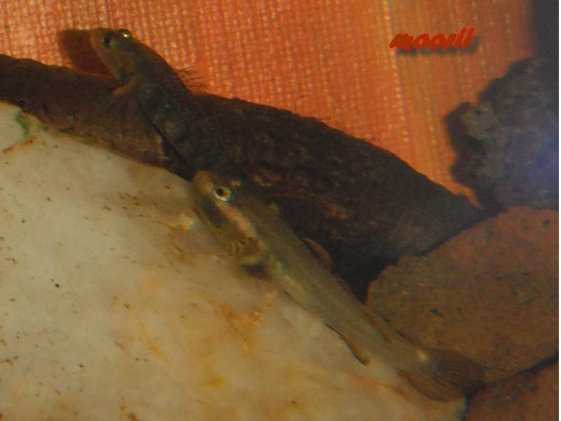 Rhinogobius sp. wui 1013