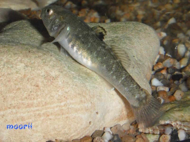 Chlamydogobius eremius 3610