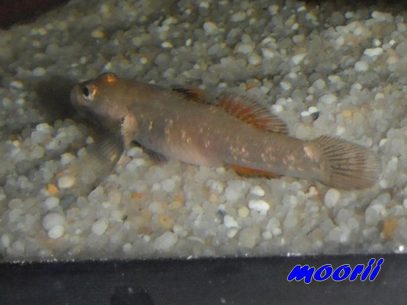 Rhinogobius sp. wui 4711