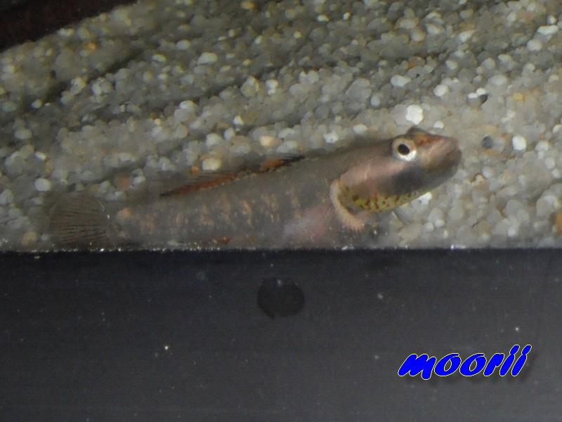 Rhinogobius sp. wui 4811
