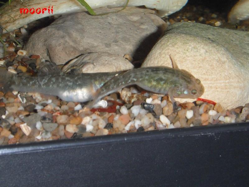 Chlamydogobius eremius 5011