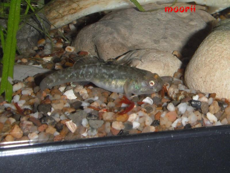 Chlamydogobius eremius 5111