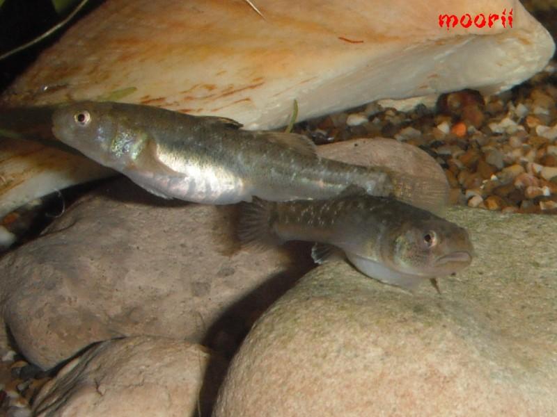 Chlamydogobius eremius 5311