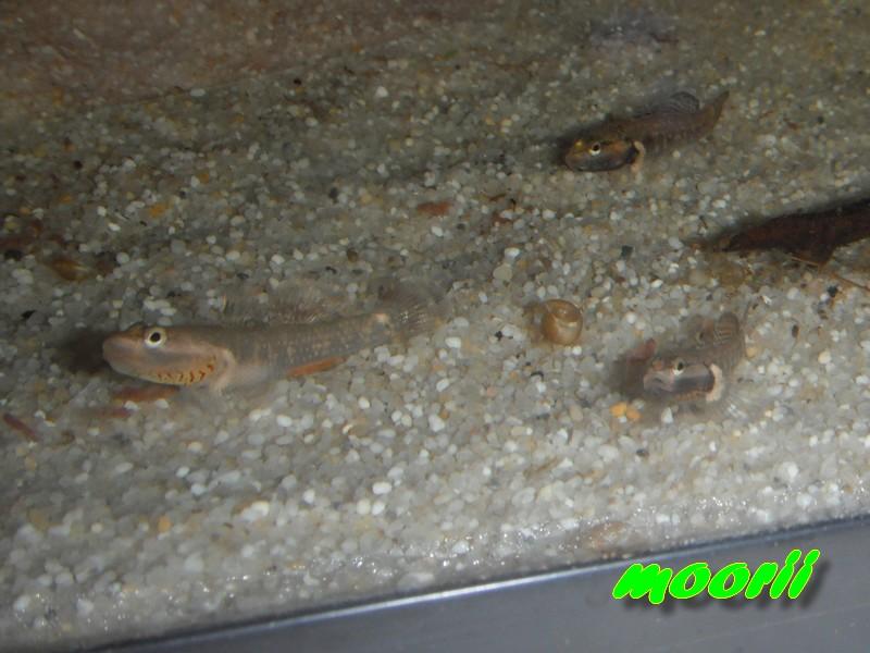 Rhinogobius sp. wui 5711