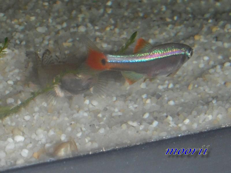 Rhinogobius sp. wui 9210