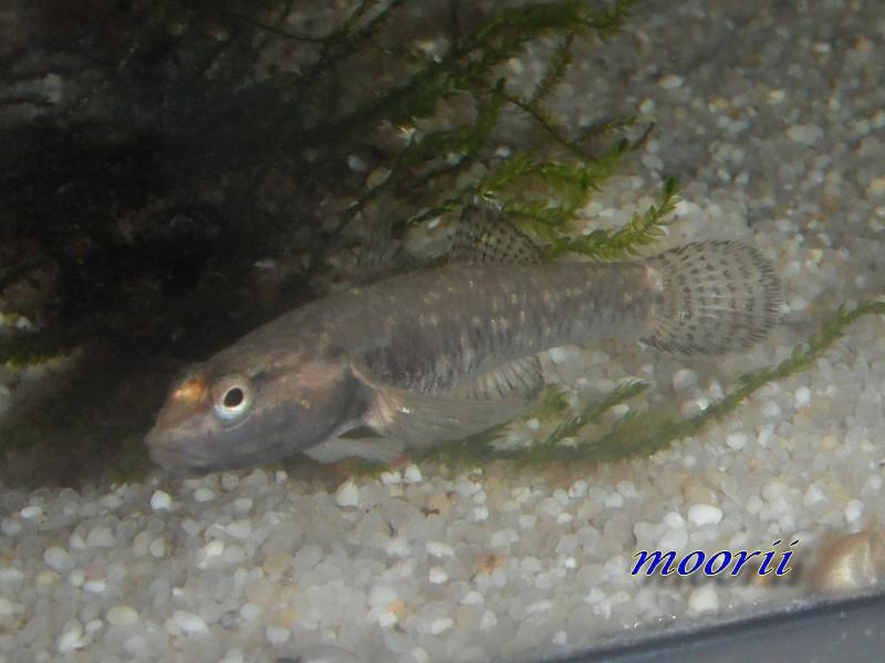 Rhinogobius sp. wui 9310
