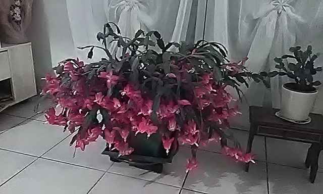 Cactus de Noël Img_2010
