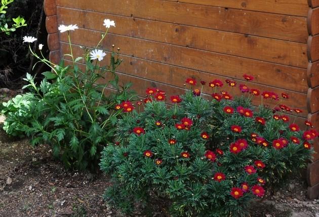 Argyranthemum pinnatifidum  002_6311