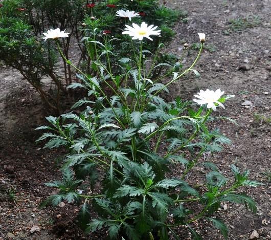 Argyranthemum pinnatifidum  004_5311