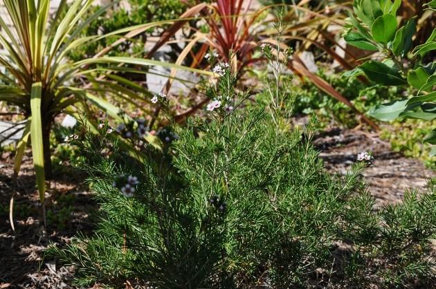 Chamelaucium uncinatum - fleur de cire 005_6310