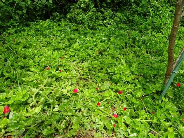 Aptenia cordifolia = Mesembryanthemum cordifolium 006_6311