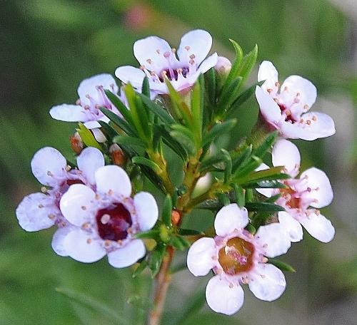 Chamelaucium uncinatum - fleur de cire 007_5010
