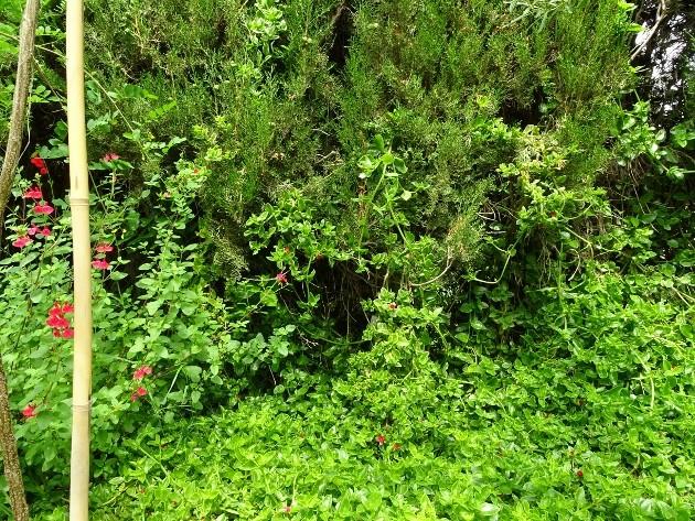 Aptenia cordifolia = Mesembryanthemum cordifolium 007_6317