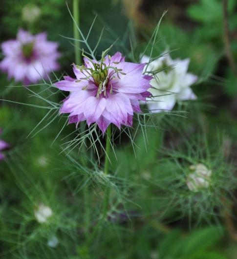 Nigella damascena - nigelle de Damas 009_4811