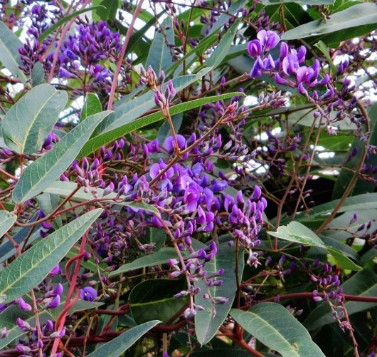 Hardenbergia violacea - Page 2 009_5310