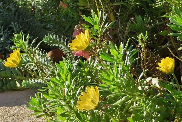 Osteospermum fruticosum - marguerite du Cap 010_6310