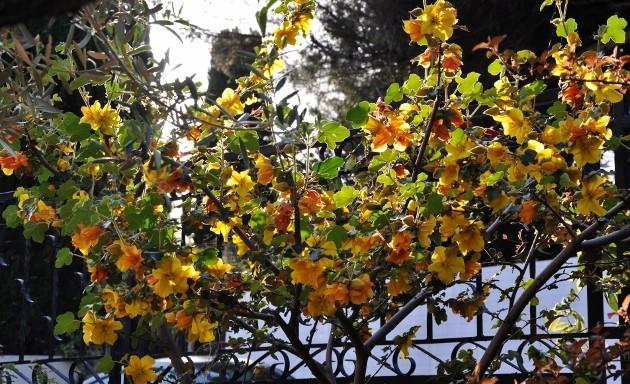 Fremontodendron californicum - Page 2 011_6311