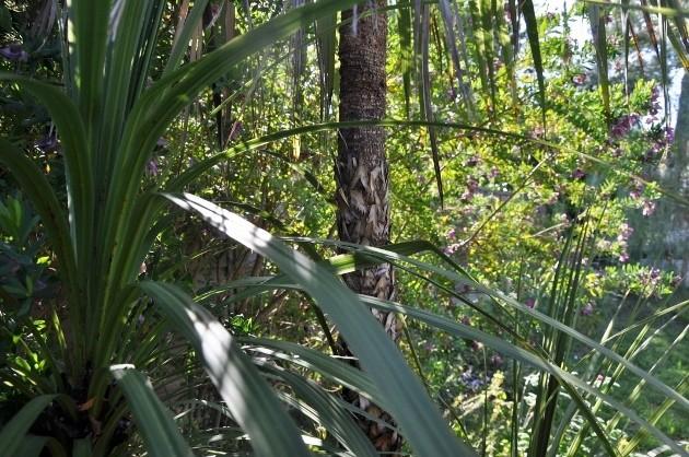 Cordyline australis 012_6311