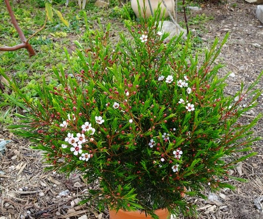 Chamelaucium uncinatum - fleur de cire 013_5310