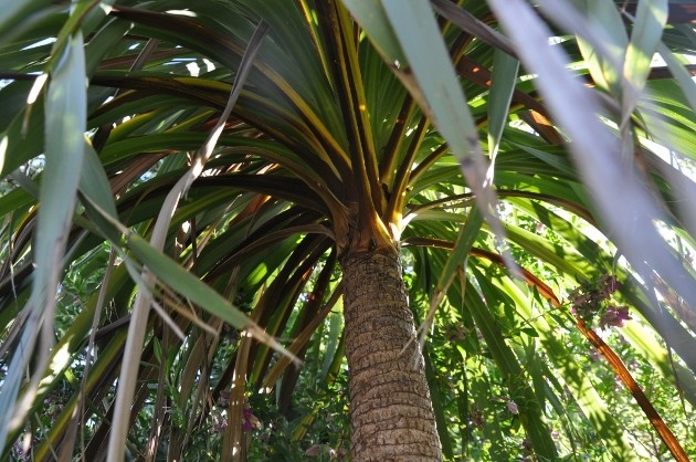 Cordyline australis 013_6311