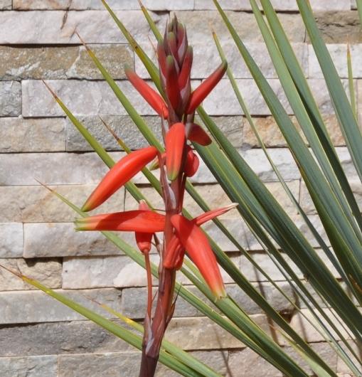 Aristaloe aristata  (= Aloe aristata) - Page 5 014_5010