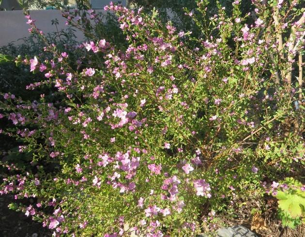 Boronia crenulata 019_6310