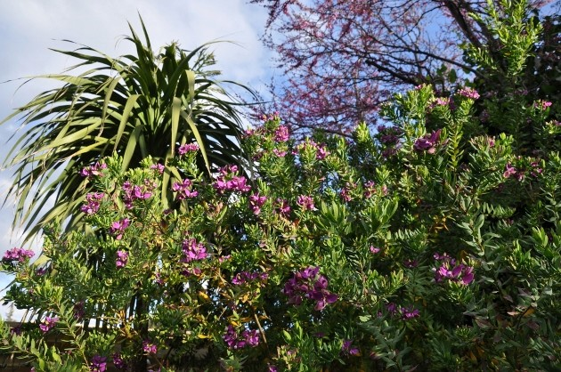 Cordyline australis 021_6310
